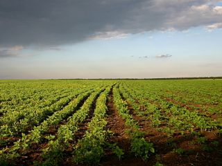 Россельхознадзор предупреждает ярославских дачниках о зараженном картофеле.